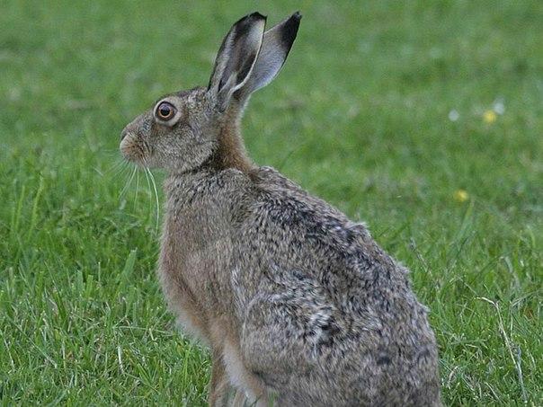 Охота на зайца русака без гончей
