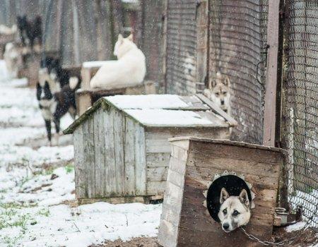 Ошибки в выборе, разведении и содержании промысловых собак
