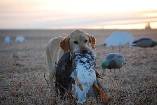 О тонкостях охоты на гуся