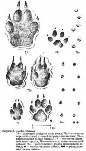 Как распознать следы волка