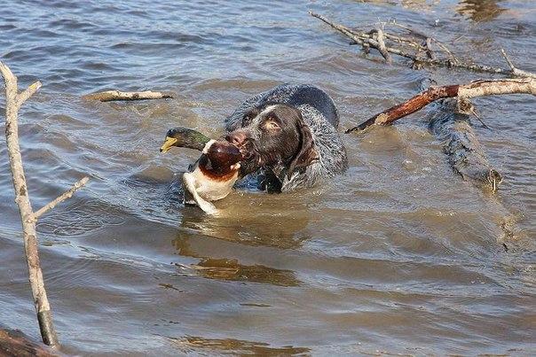 Почему дратхаар собака универсальная