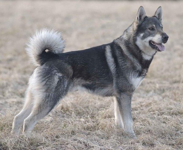 Охота на волчат на логове - Охота с лайкой