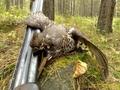Какой лучший способ охоты на рябчика
